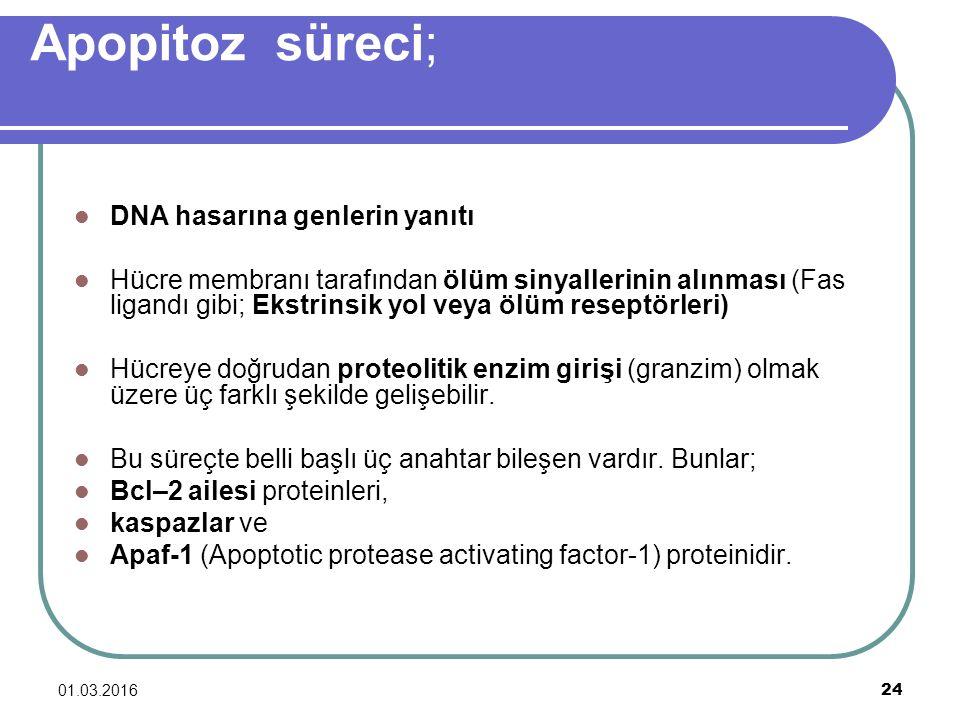 Apopitoz süreci; DNA hasarına genlerin yanıtı