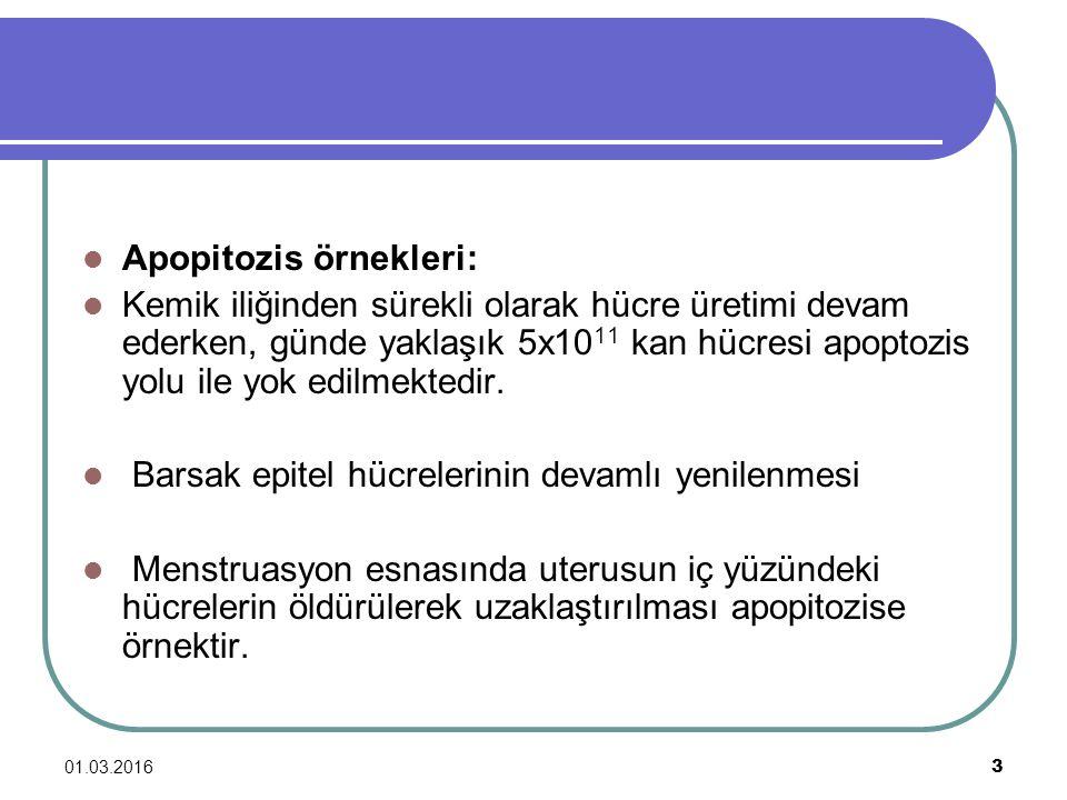 Apopitozis örnekleri: