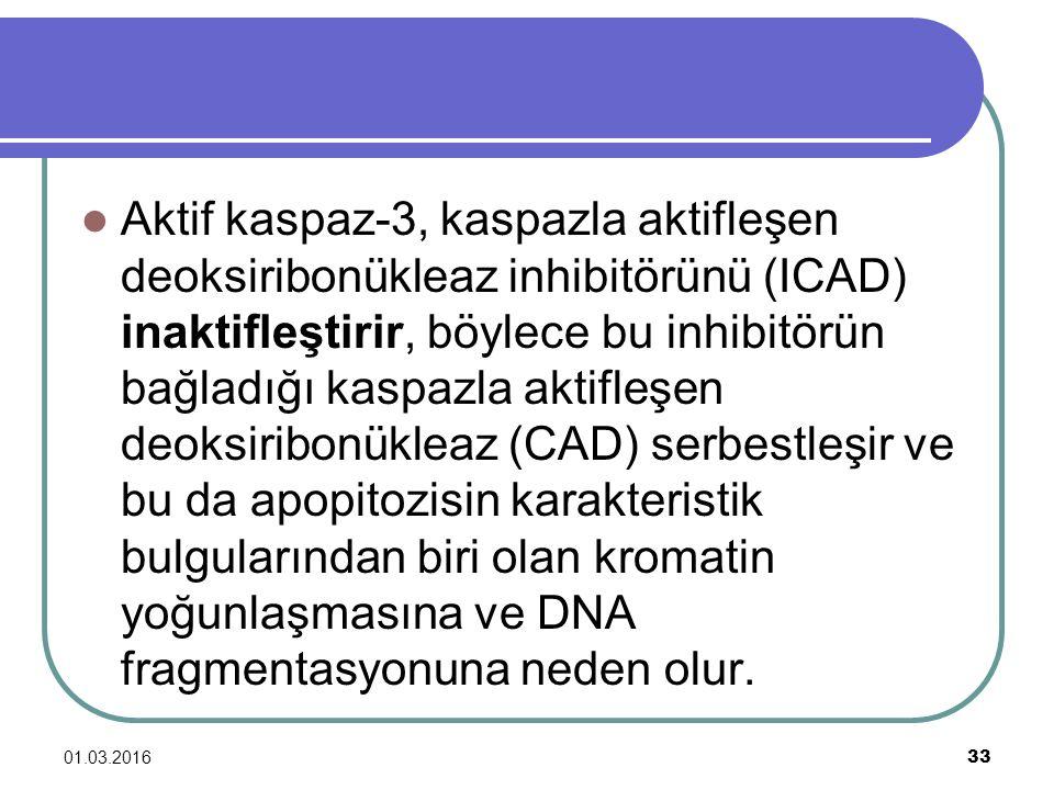 Aktif kaspaz-3, kaspazla aktifleşen deoksiribonükleaz inhibitörünü (ICAD) inaktifleştirir, böylece bu inhibitörün bağladığı kaspazla aktifleşen deoksiribonükleaz (CAD) serbestleşir ve bu da apopitozisin karakteristik bulgularından biri olan kromatin yoğunlaşmasına ve DNA fragmentasyonuna neden olur.