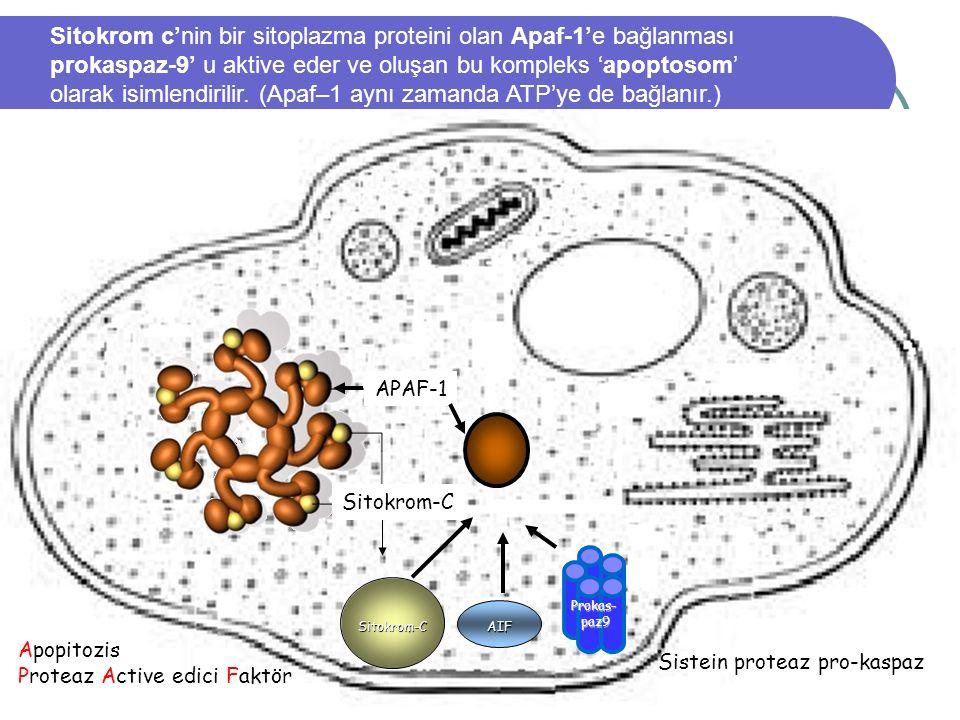 Sitokrom c'nin bir sitoplazma proteini olan Apaf-1'e bağlanması prokaspaz-9' u aktive eder ve oluşan bu kompleks 'apoptosom' olarak isimlendirilir. (Apaf–1 aynı zamanda ATP'ye de bağlanır.)