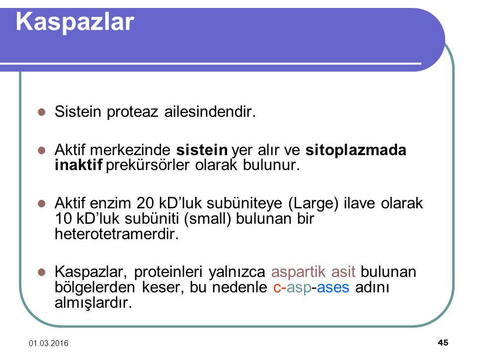 Kaspazlar Sistein proteaz ailesindendir.