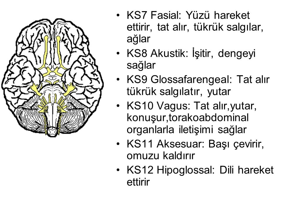 KS7 Fasial: Yüzü hareket ettirir, tat alır, tükrük salgılar, ağlar