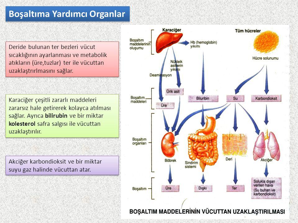 Boşaltıma Yardımcı Organlar