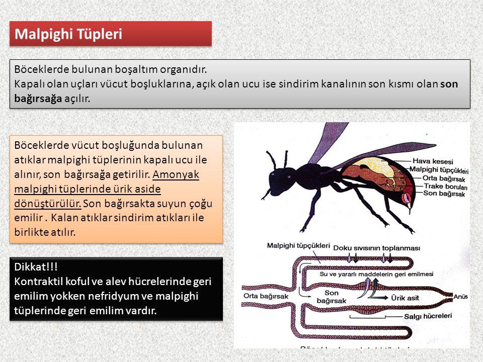Malpighi Tüpleri Böceklerde bulunan boşaltım organıdır.