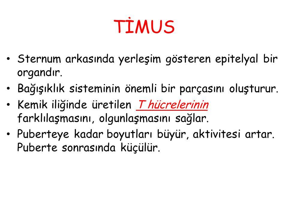 TİMUS Sternum arkasında yerleşim gösteren epitelyal bir organdır.