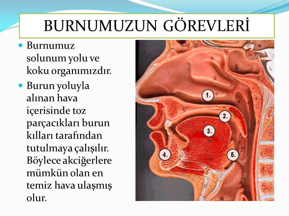 BURNUMUZUN GÖREVLERİ Burnumuz solunum yolu ve koku organımızdır.