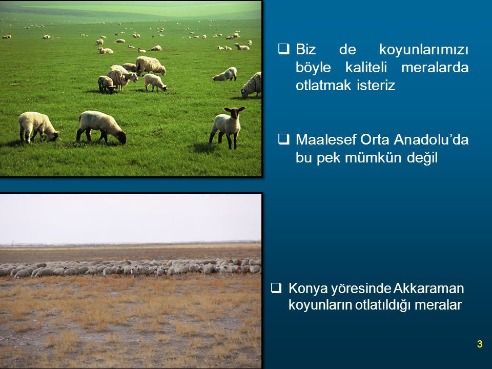 Biz de koyunlarımızı böyle kaliteli meralarda otlatmak isteriz