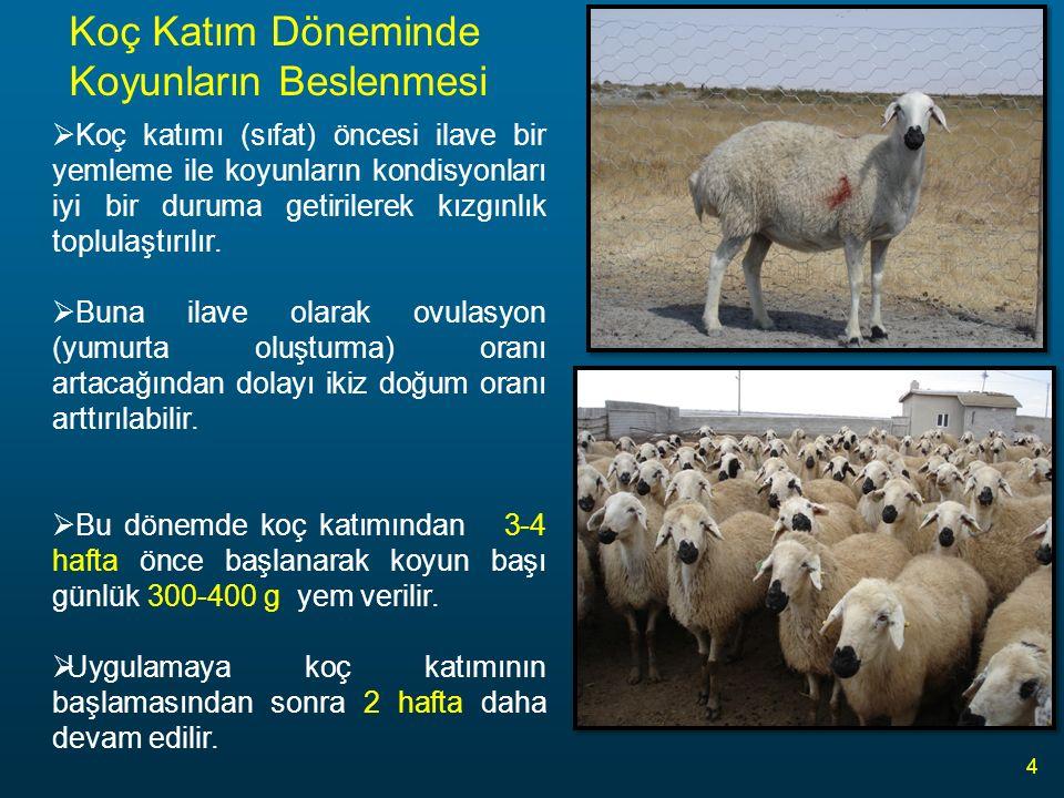Koyunların Beslenmesi