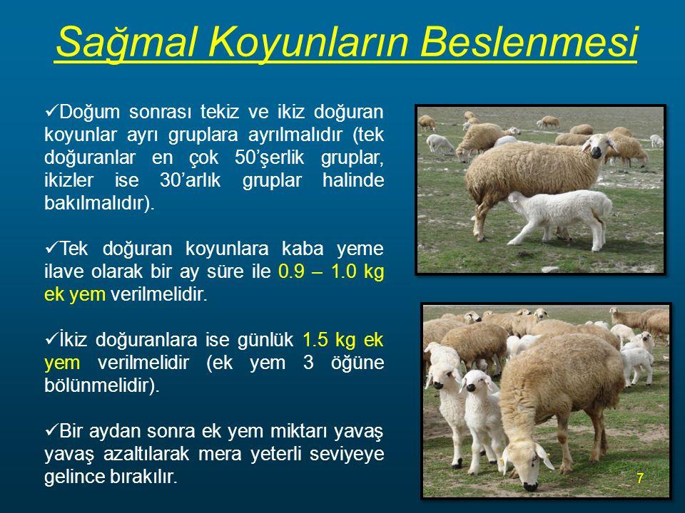 Sağmal Koyunların Beslenmesi