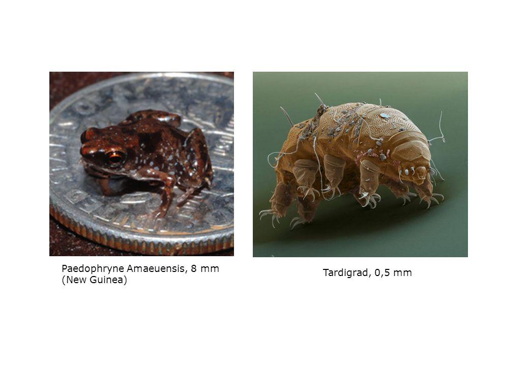 Paedophryne Amaeuensis, 8 mm