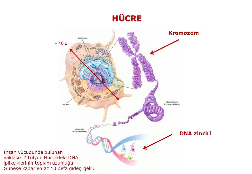HÜCRE Kromozom DNA zinciri ~ 40 μ İnsan vücudunda bulunan