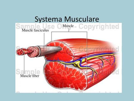 Systema Musculare.