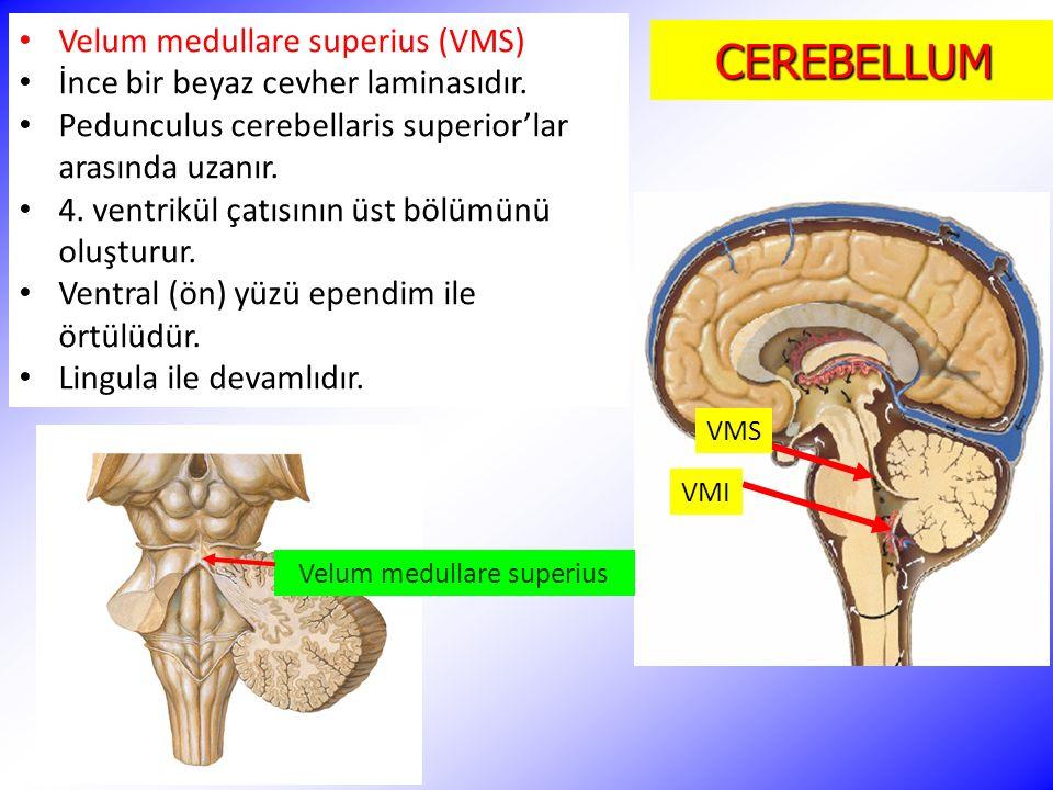Niedlich Pedunculus Cerebellaris Bilder - Menschliche Anatomie ...