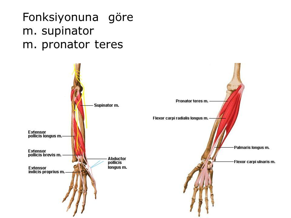 Erfreut M. Supinator Bilder - Menschliche Anatomie Bilder ...