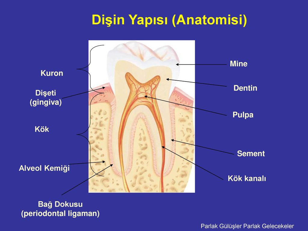 İnsan dişinin fonksiyonları ve yapısı