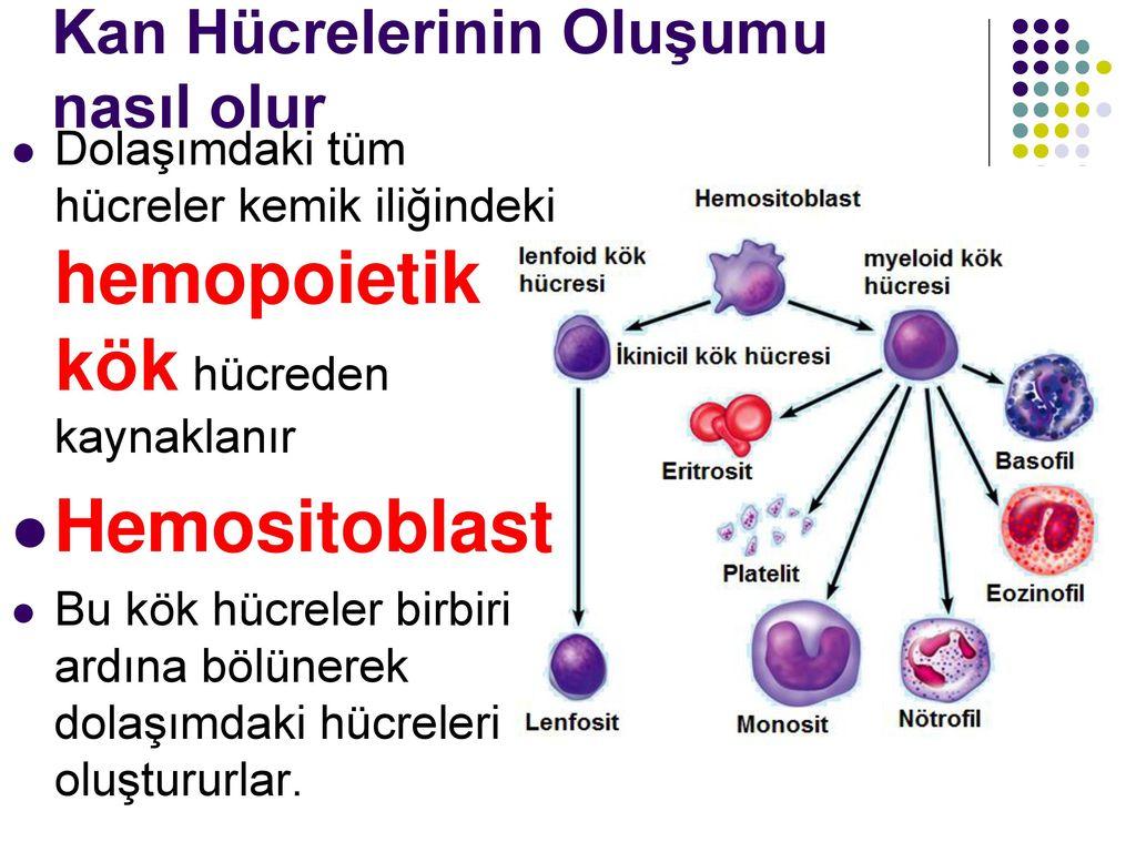 Kandaki nötrofiller artar - ne der