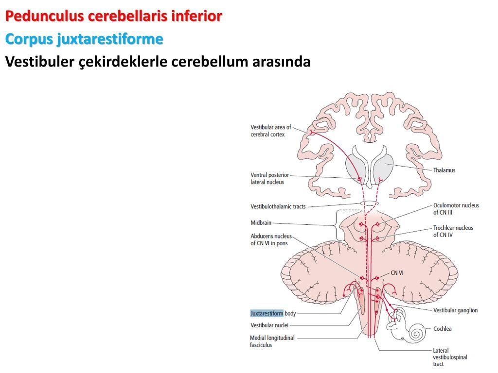Nett Pedunculus Cerebellaris Bilder - Anatomie Ideen - finotti.info