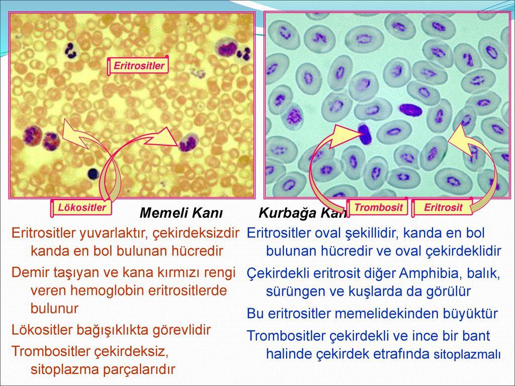 Kandaki eritrositler azaldı: olası nedenler