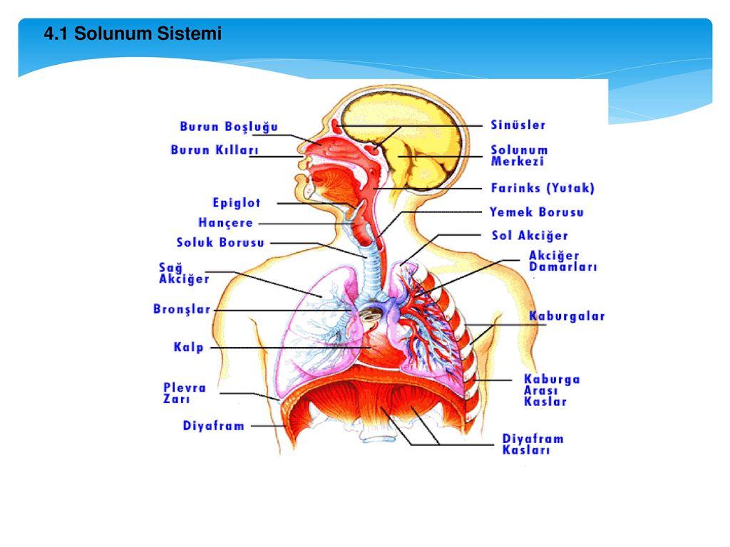 Diyafram açıklaması ve işlevleri. Bu organ ne hayvanlara sahip