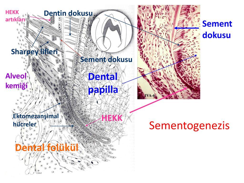 Hücrelerin şeklini belirleyen nedir Hücre Formları
