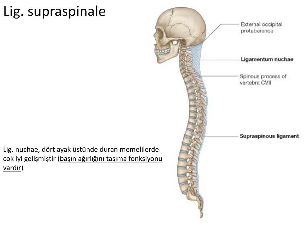 Columna Vertebralis Eklemleri Ppt Indir Synchondrosis terimi, tıp dilinde kullanılan latince bir kelimedir. columna vertebralis eklemleri ppt indir