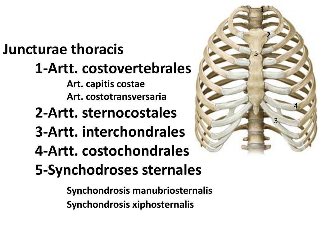 Columna Vertebralis Eklemleri Ppt Indir They articulate with the thoracic vertebrae in your back. columna vertebralis eklemleri ppt indir