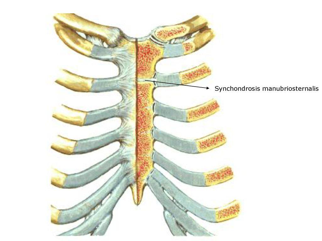 Eklem Genel Bilgi Levent Sarikcioglu Ppt Indir Oksipital kemiğin pars basilaris'i ile temporal kemiğin pars petrosa'sı. eklem genel bilgi levent sarikcioglu