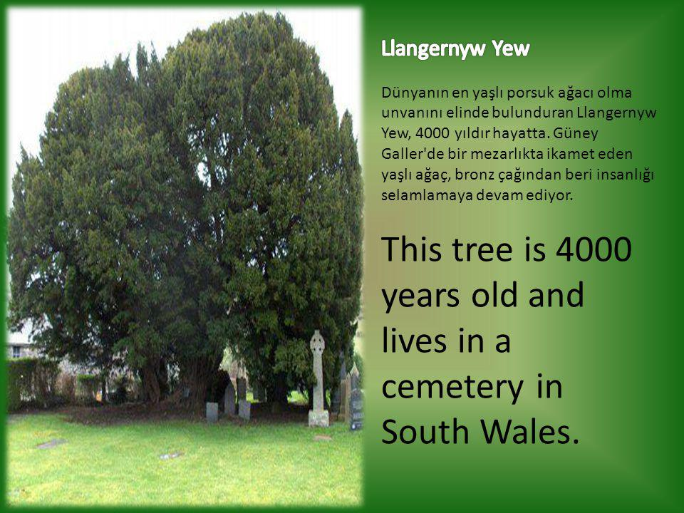 This tree is 4000 years old and lives in a cemetery in South Wales.