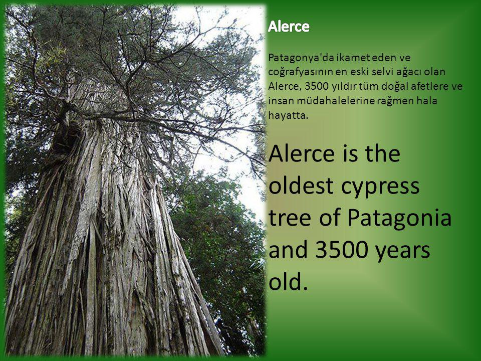 Alerce is the oldest cypress tree of Patagonia and 3500 years old.