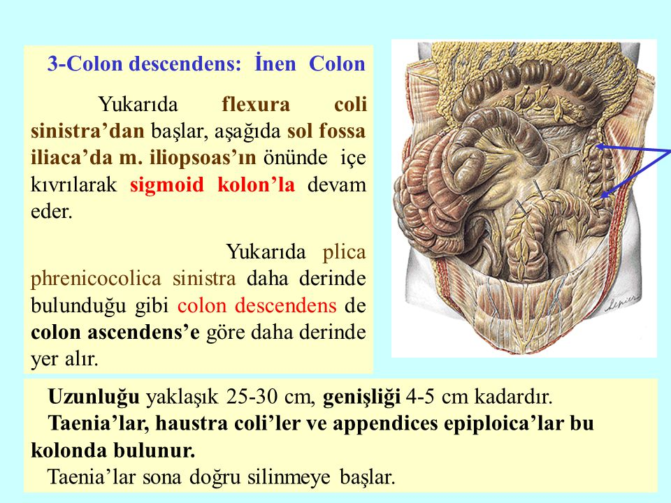3-Colon descendens: İnen Colon