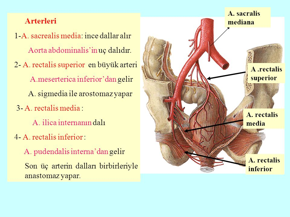 Arterleri 1-A. sacrealis media: ince dallar alır