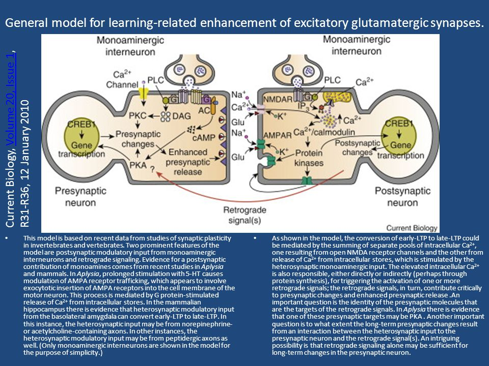 General model for learning-related enhancement of excitatory glutamatergic synapses.