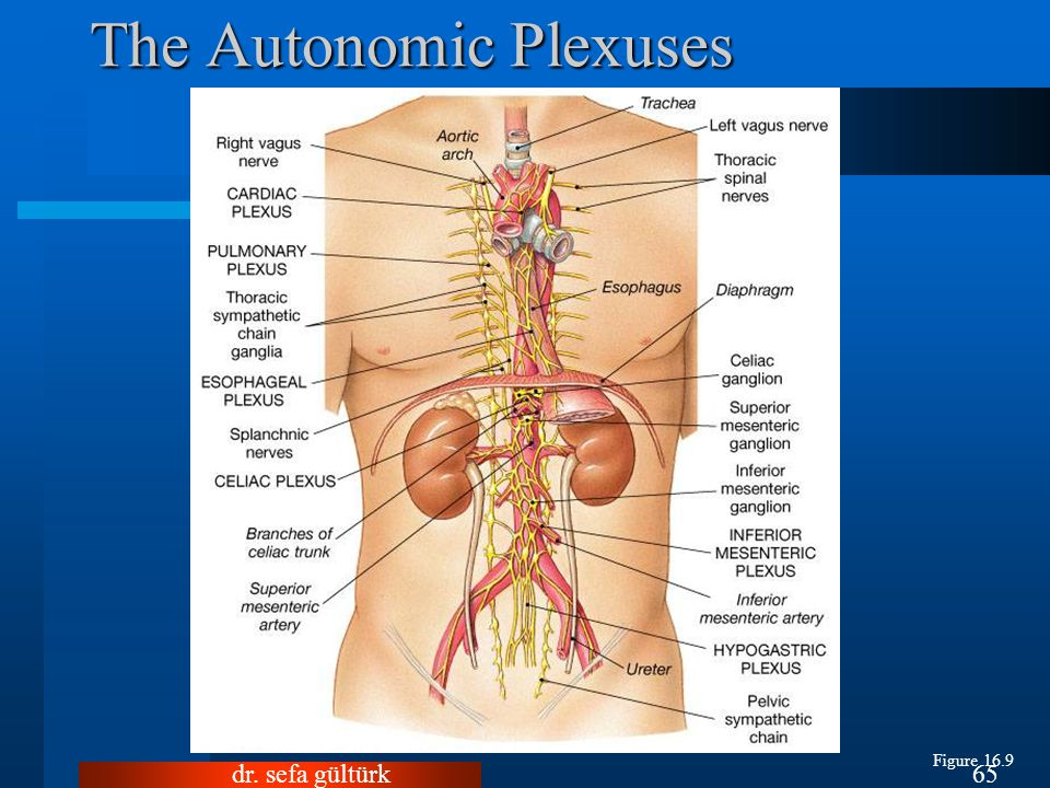 The Autonomic Plexuses