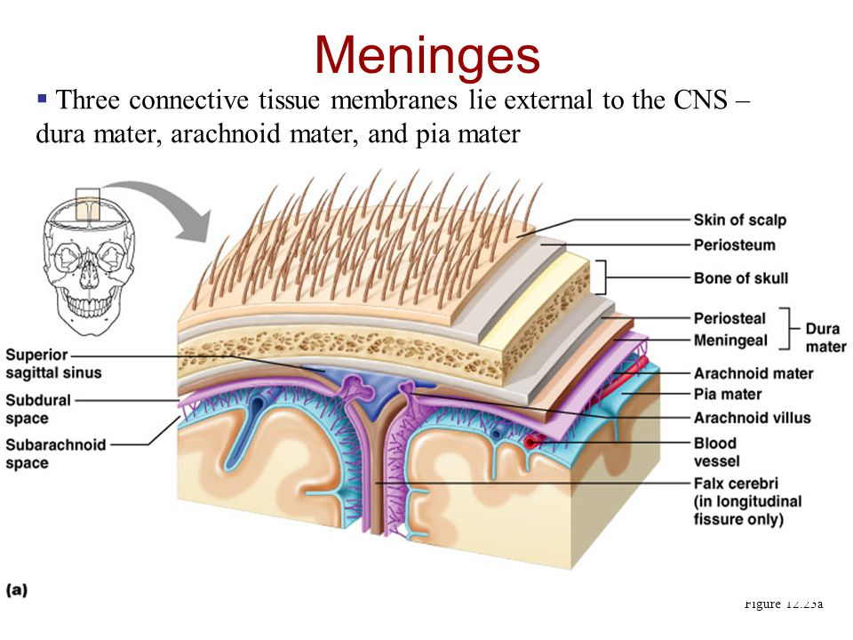 Meninges Three connective tissue membranes lie external to the CNS – dura mater, arachnoid mater, and pia mater.