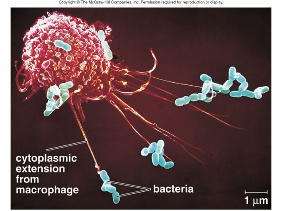 Monocyte-derived macrophages are the body's scavengers