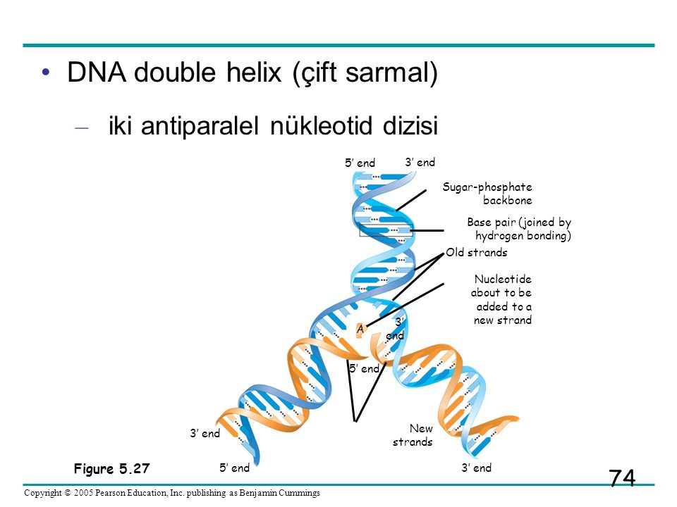 DNA double helix (çift sarmal)