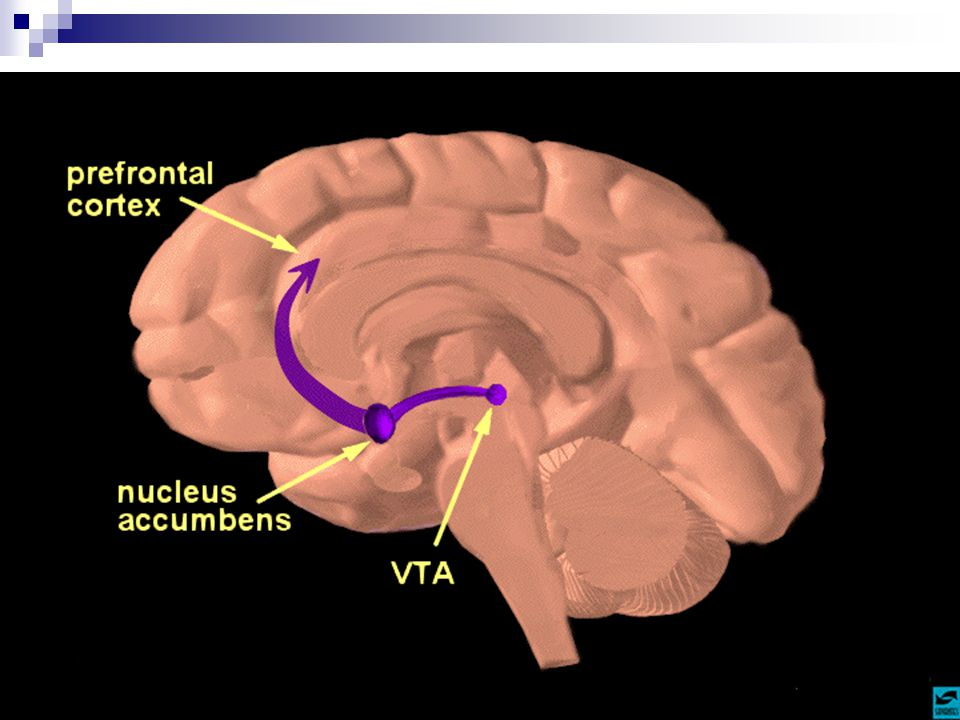 Slide 9: The reward pathway Tell students that this is a view of the brain cut down the middle.