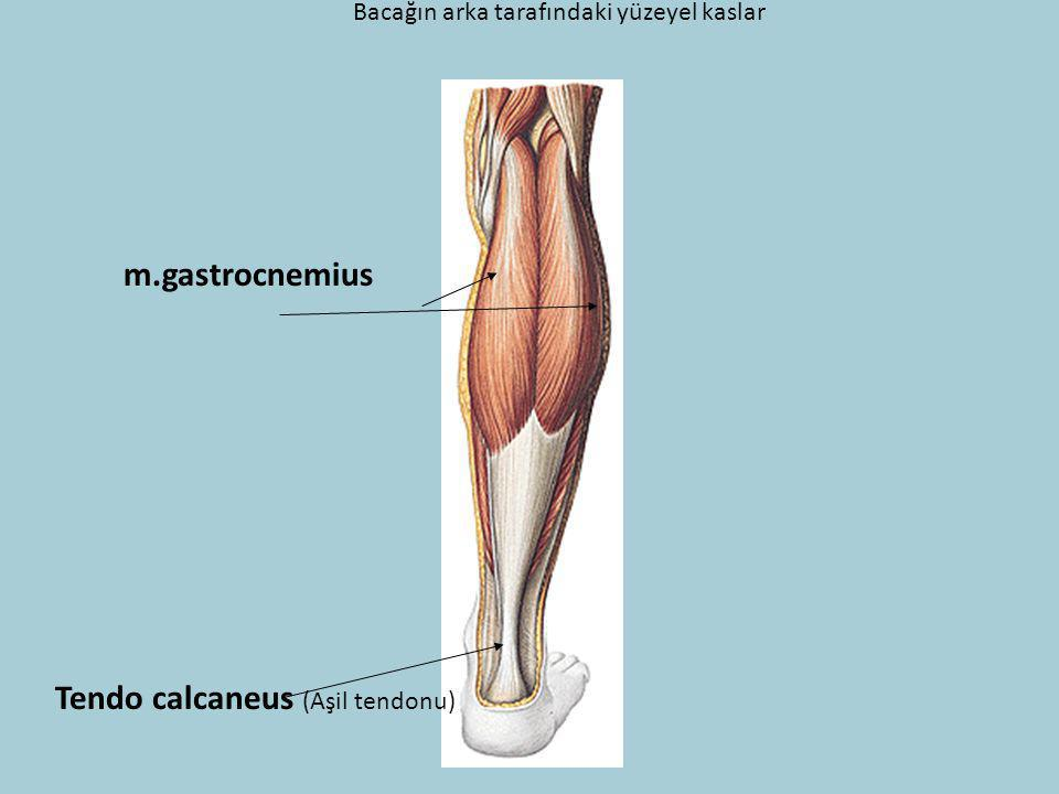 Tendo calcaneus (Aşil tendonu)