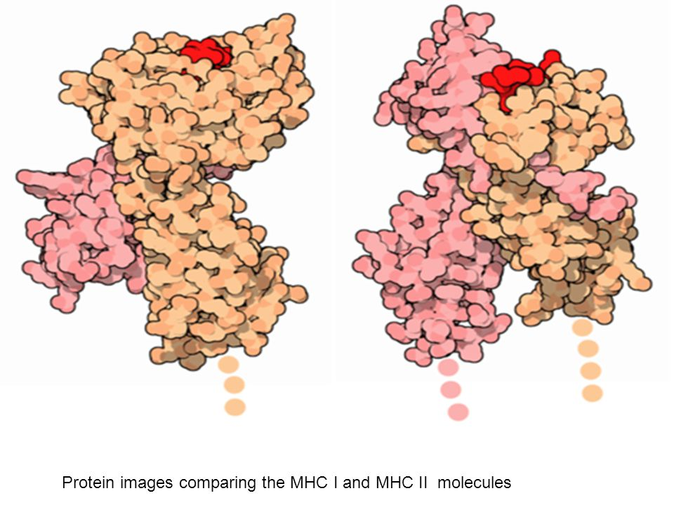 Protein images comparing the MHC I and MHC II molecules