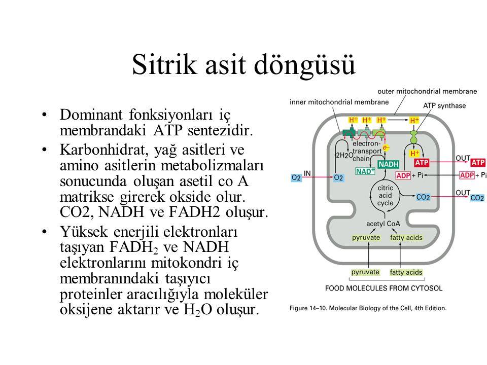 Mitokondrinin fonksiyonları ve yapıları