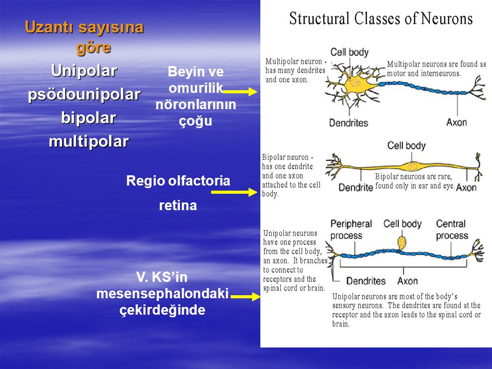contrast unipolar bipolar and multipolar neurons structually [summary]unipolar neuron a unipolar neuron is a type of neuron in which only one protoplasmic process (neurite) extends from the cell body most neurons are multipolar, generating several dendrites and an axon and there are also many bipolar neurons unipolar.