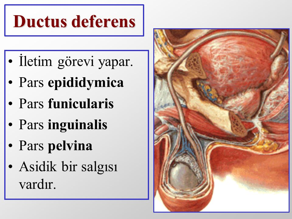 As sperm pass through the ampulla of the ductus deferens at ejaculation they mix with fluid from the associated seminal vesicle see The paired seminal vesicles