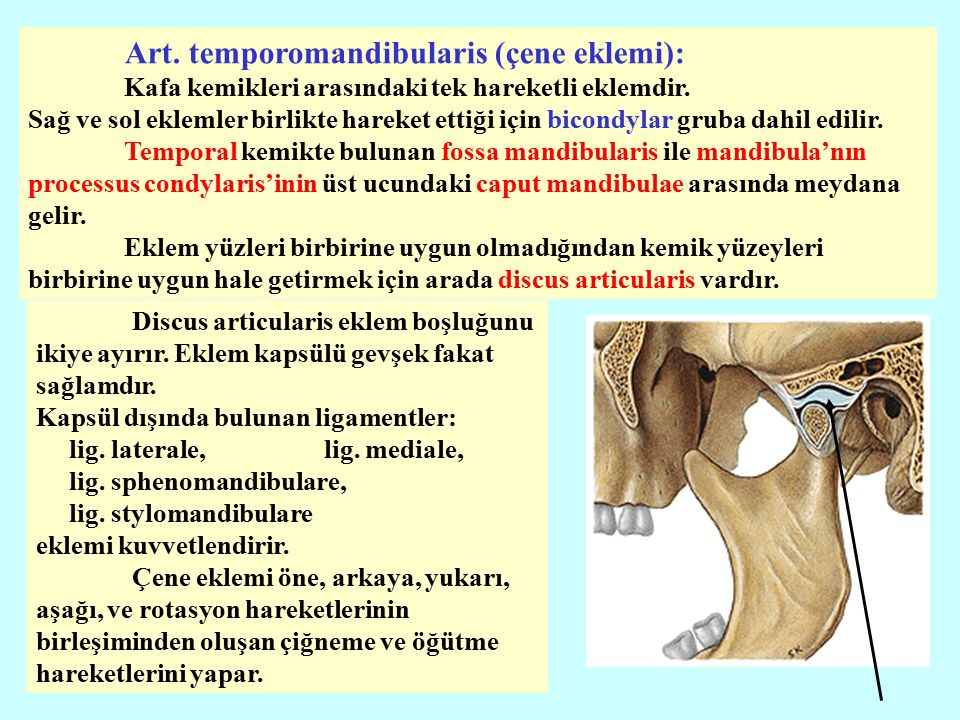 Art. temporomandibularis (çene eklemi):